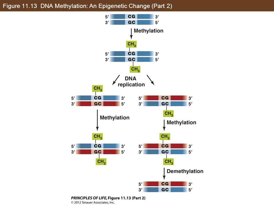 Figure DNA Methylation: An Epigenetic Change (Part 2)