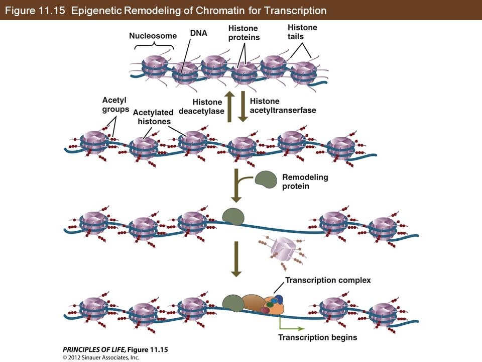Figure Epigenetic Remodeling of Chromatin for Transcription