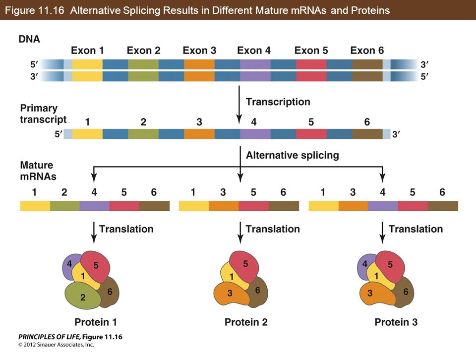 Figure Alternative Splicing Results in Different Mature mRNAs and Proteins