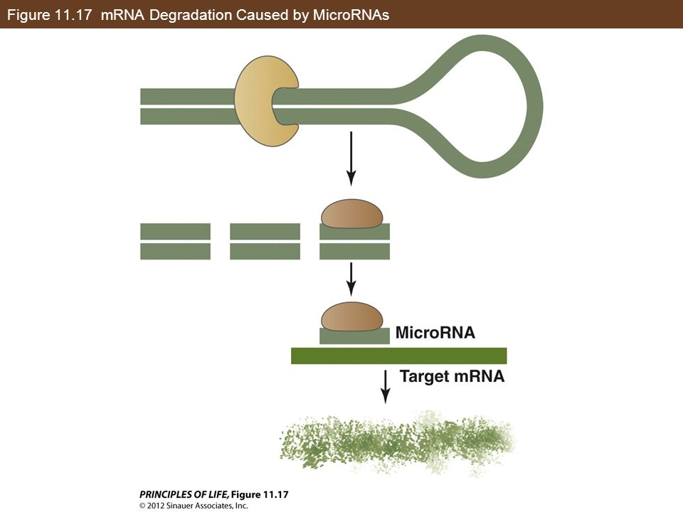 Figure 11.17 mRNA Degradation Caused by MicroRNAs