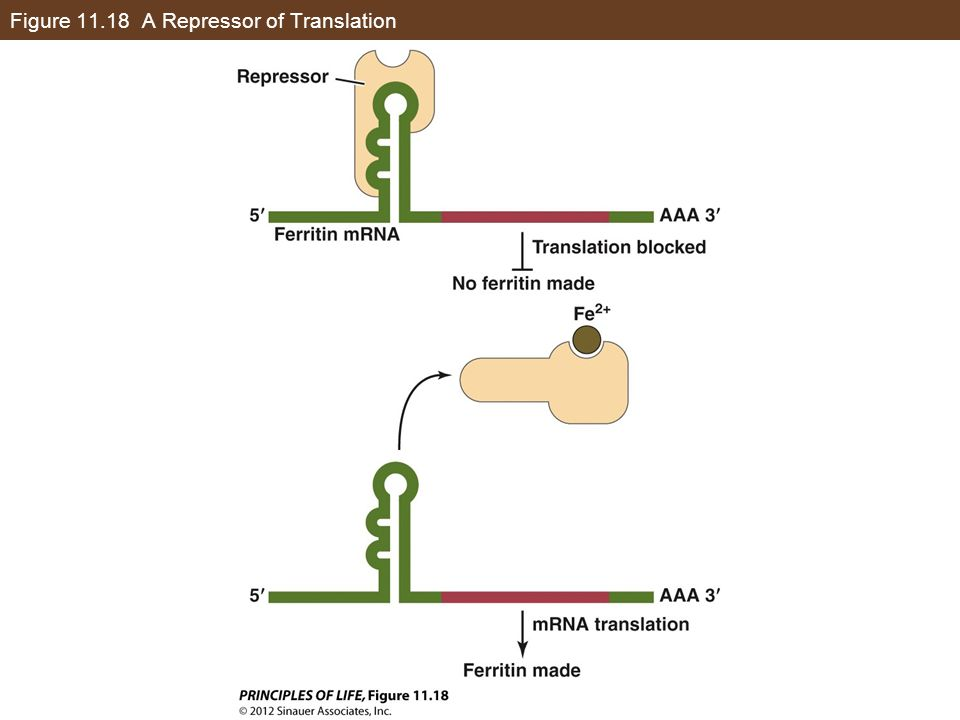 Figure 11.18 A Repressor of Translation