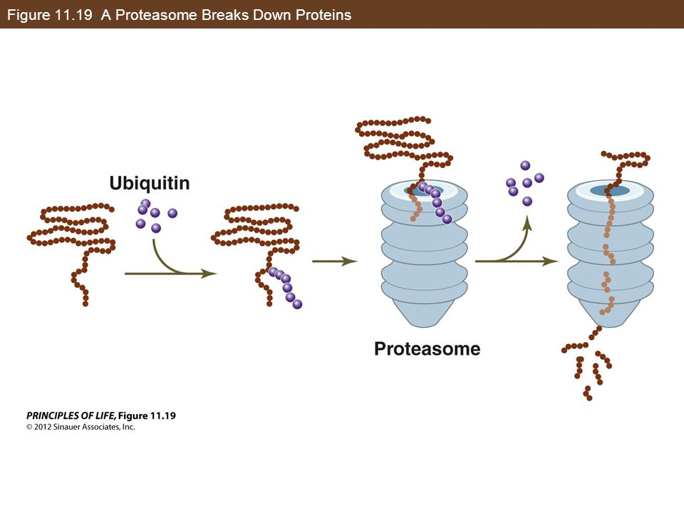Figure 11.19 A Proteasome Breaks Down Proteins
