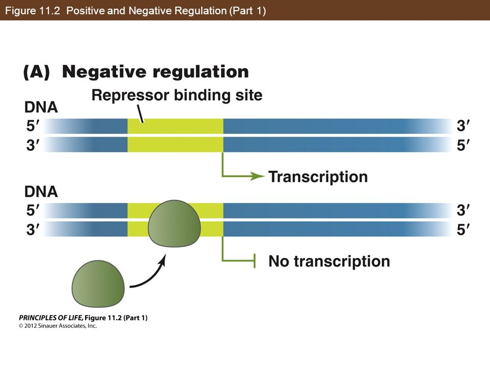 Figure 11.2 Positive and Negative Regulation (Part 1)