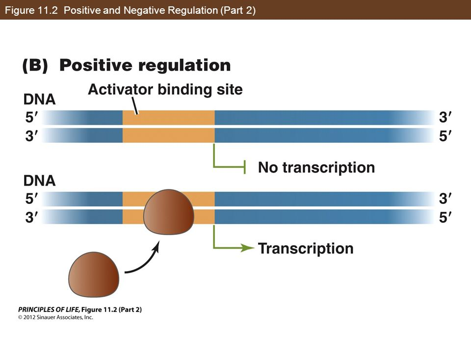 Figure 11.2 Positive and Negative Regulation (Part 2)