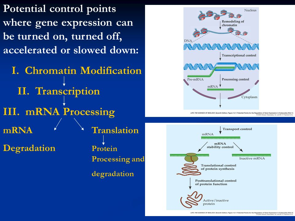 I. Chromatin Modification II. Transcription III. mRNA Processing