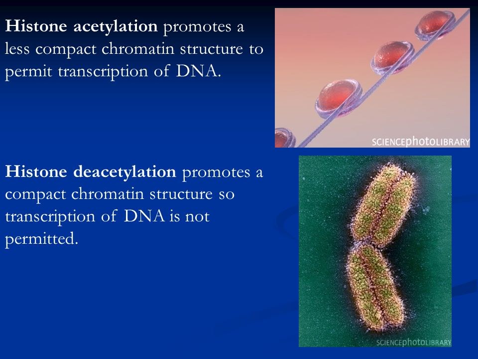 Histone acetylation promotes a less compact chromatin structure to permit transcription of DNA.
