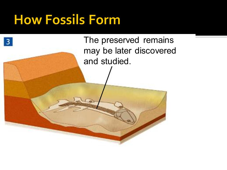 How Fossils Form The preserved remains may be later discovered and studied.