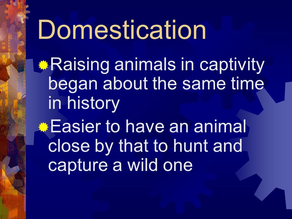 Domestication Raising animals in captivity began about the same time in history.