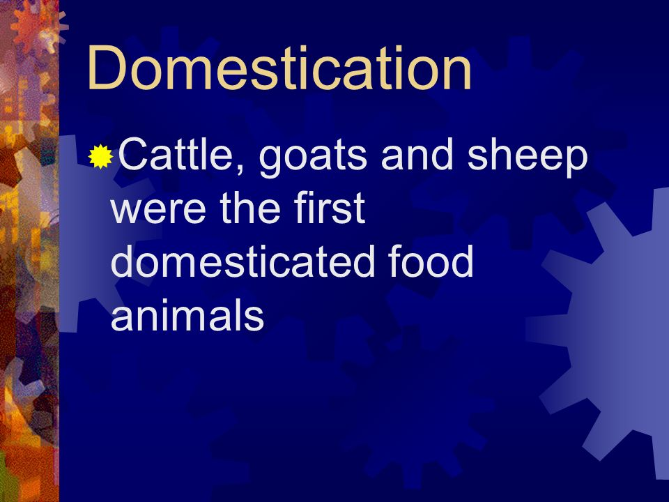 Domestication Cattle, goats and sheep were the first domesticated food animals
