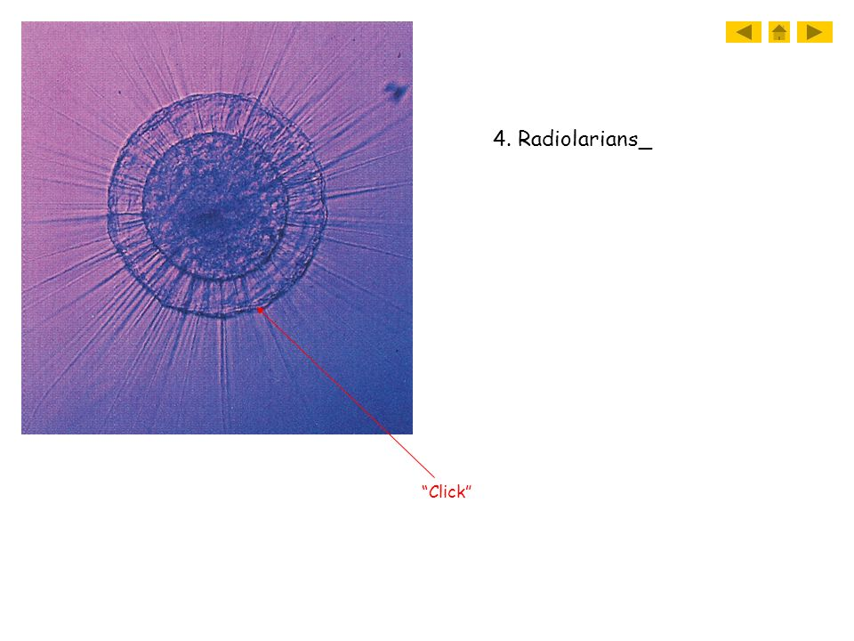 4. Radiolarians_ Click