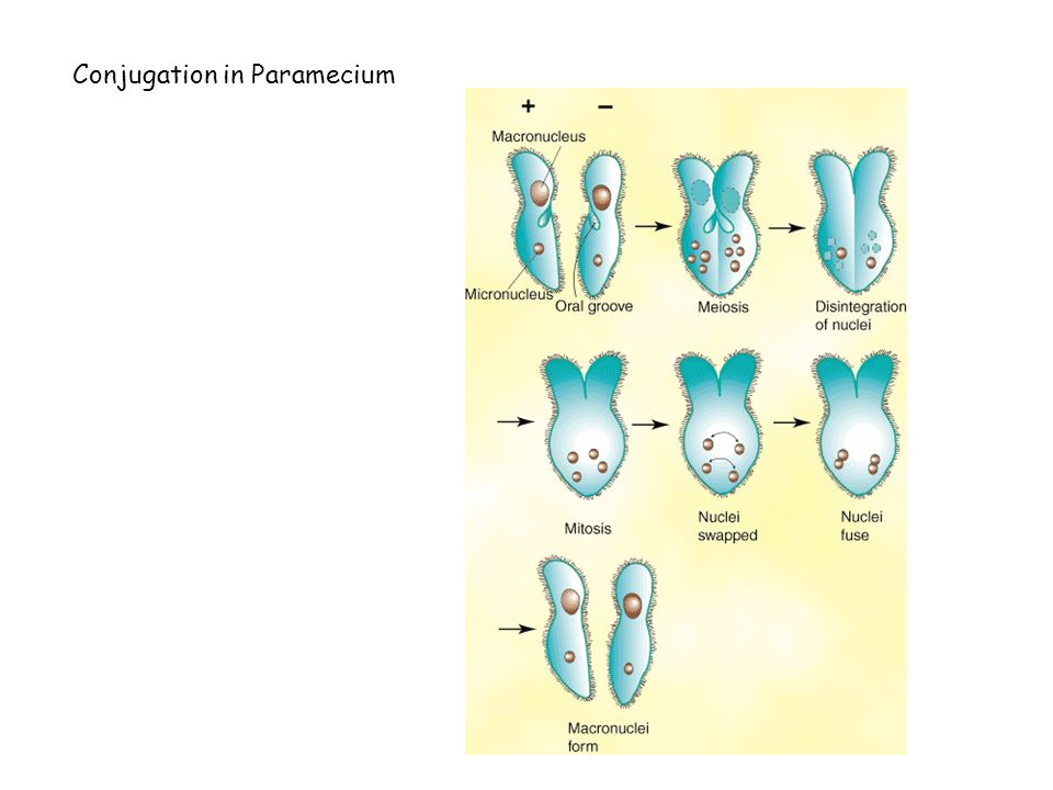 Conjugation in Paramecium