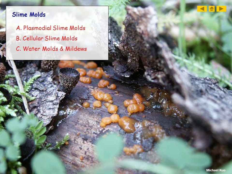 Slime Molds A. Plasmodial Slime Molds B. Cellular Slime Molds C. Water Molds & Mildews