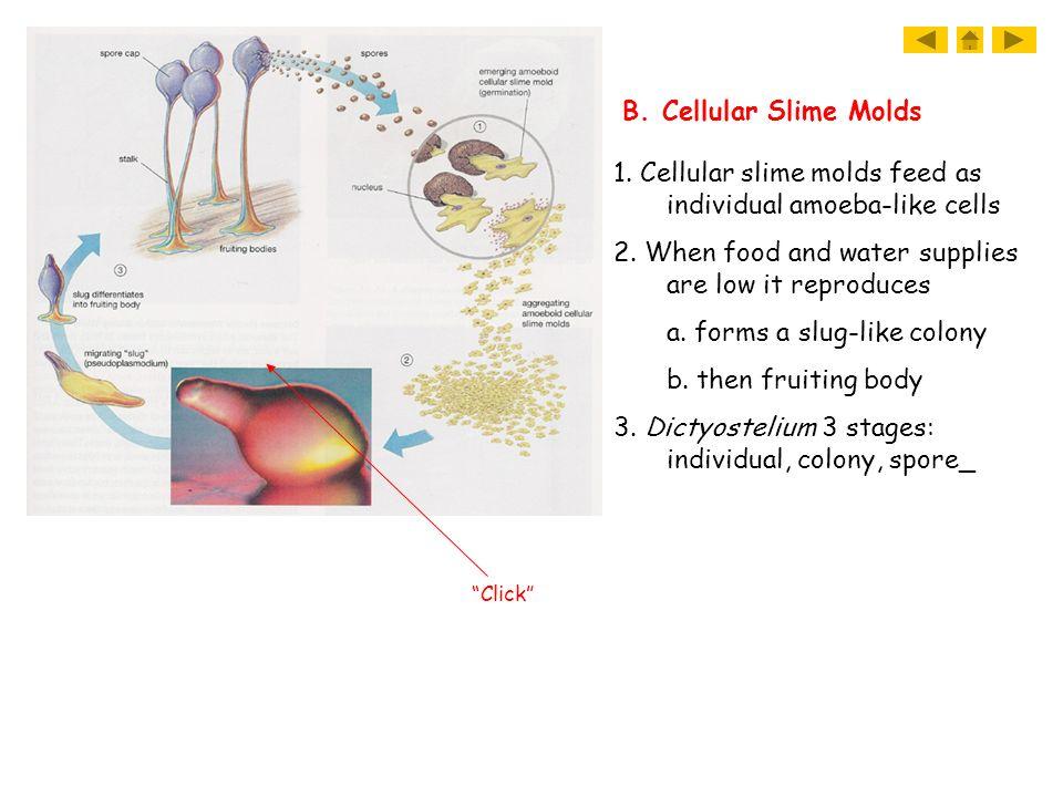 1.+Cellular+slime+molds+feed+as+individual+amoeba-like+cells.jpg