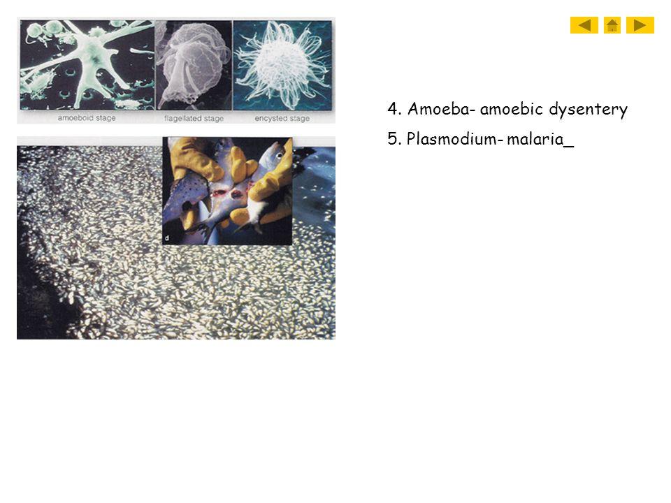 4. Amoeba- amoebic dysentery