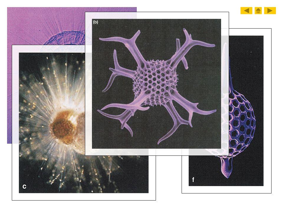 4. Radiolarians
