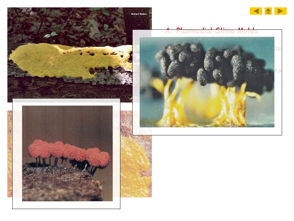 A. Plasmodial Slime Molds