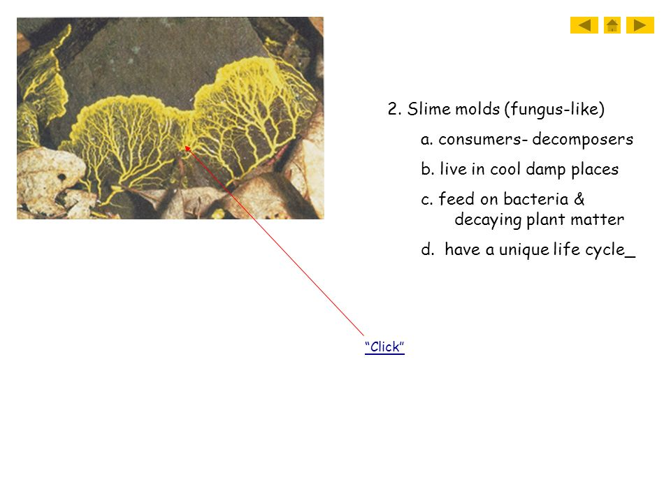 2. Slime molds (fungus-like) a. consumers- decomposers