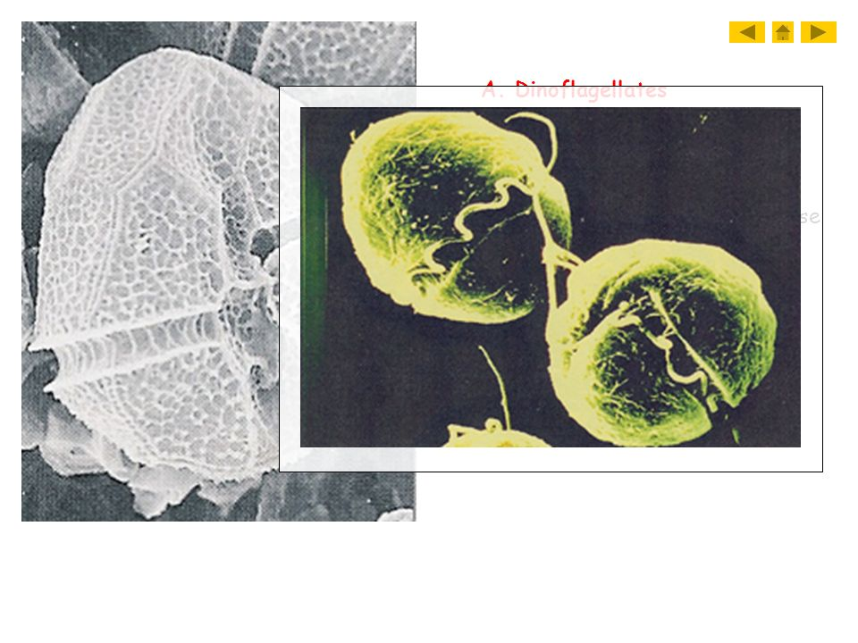 A. Dinoflagellates 1. Dinoflagellates. a. have two flagella. b. cell wall made of cellulose. c. causes red tide.