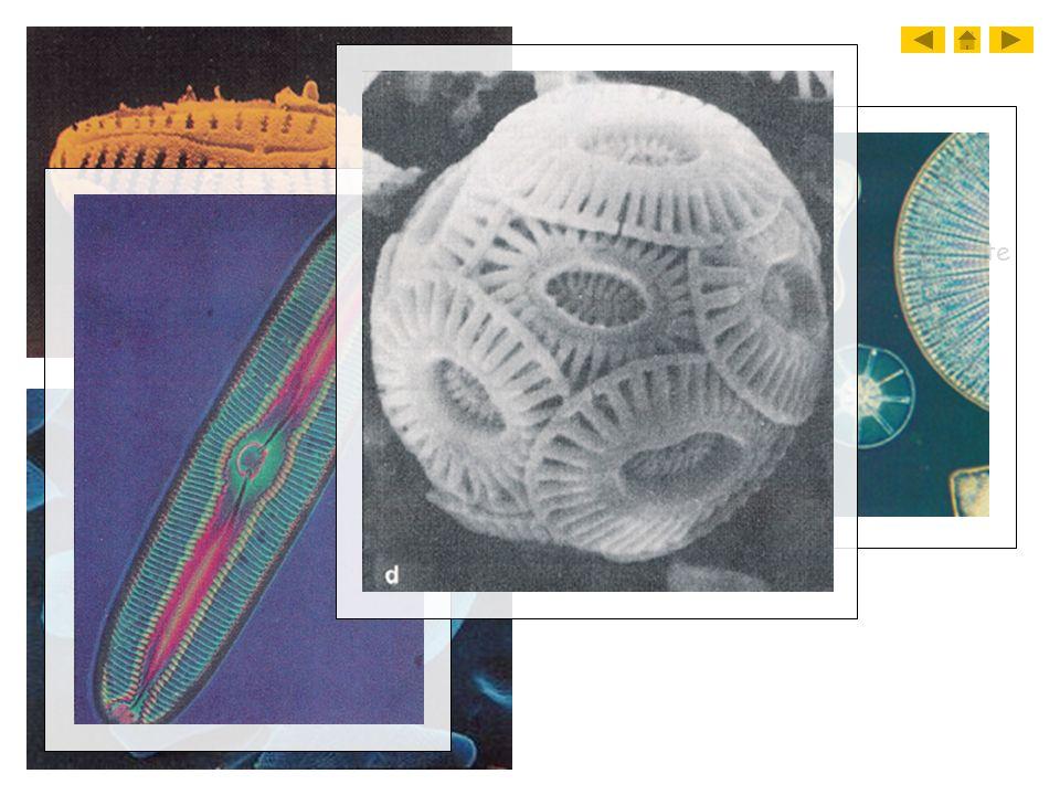 B. Diatoms 1. Diatoms contain cell walls made of glass a. gritty, used in toothpaste and cleansers