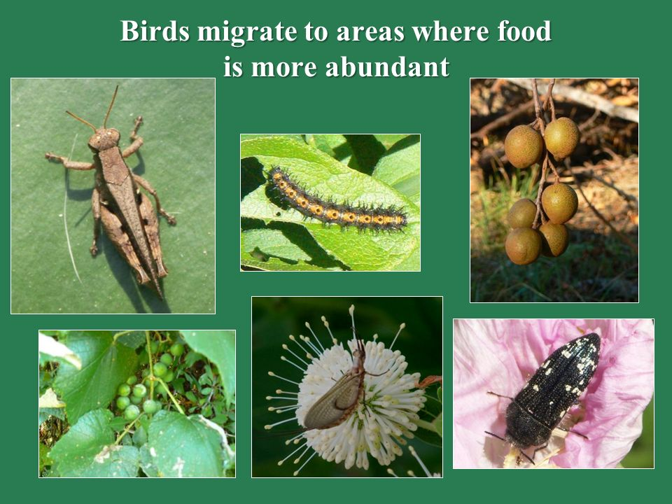 Birds migrate to areas where food is more abundant