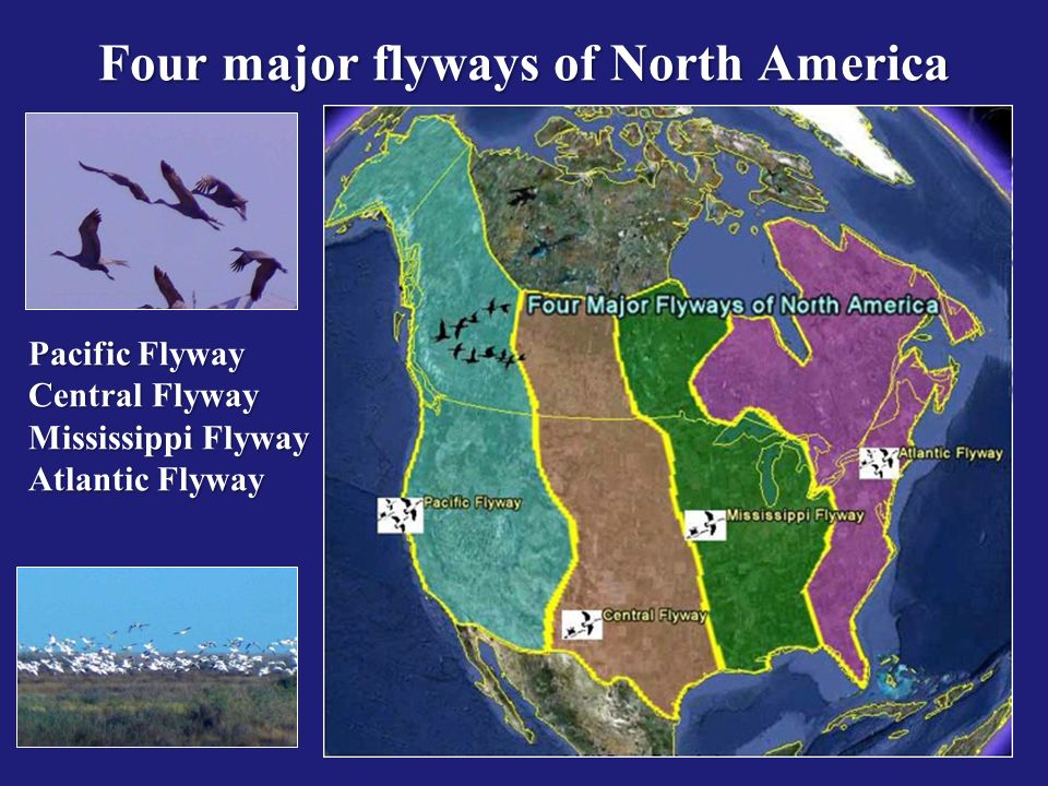 Pacific Flyway Central Flyway Mississippi Flyway Atlantic Flyway