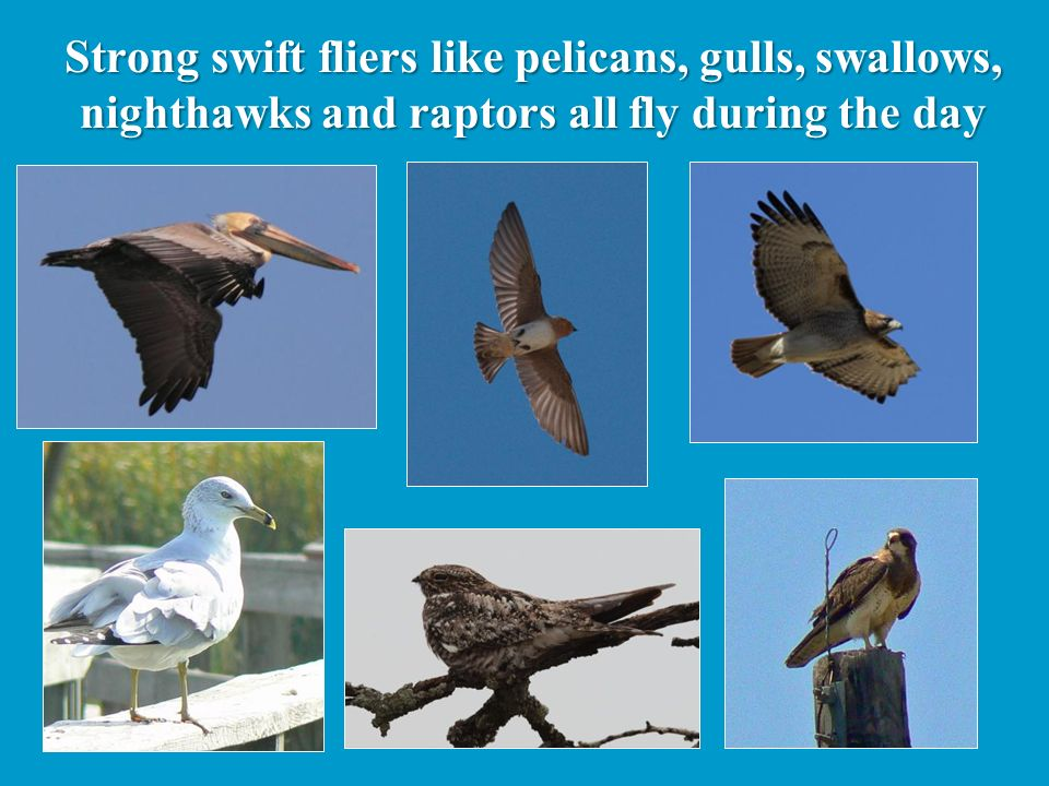 Strong swift fliers like pelicans, gulls, swallows, nighthawks and raptors all fly during the day