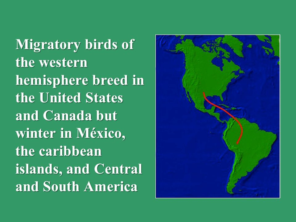 Migratory birds of the western hemisphere breed in the United States and Canada but winter in México, the caribbean islands, and Central and South America