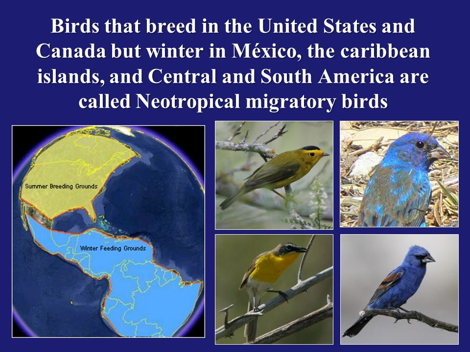 Birds that breed in the United States and Canada but winter in México, the caribbean islands, and Central and South America are called Neotropical migratory birds