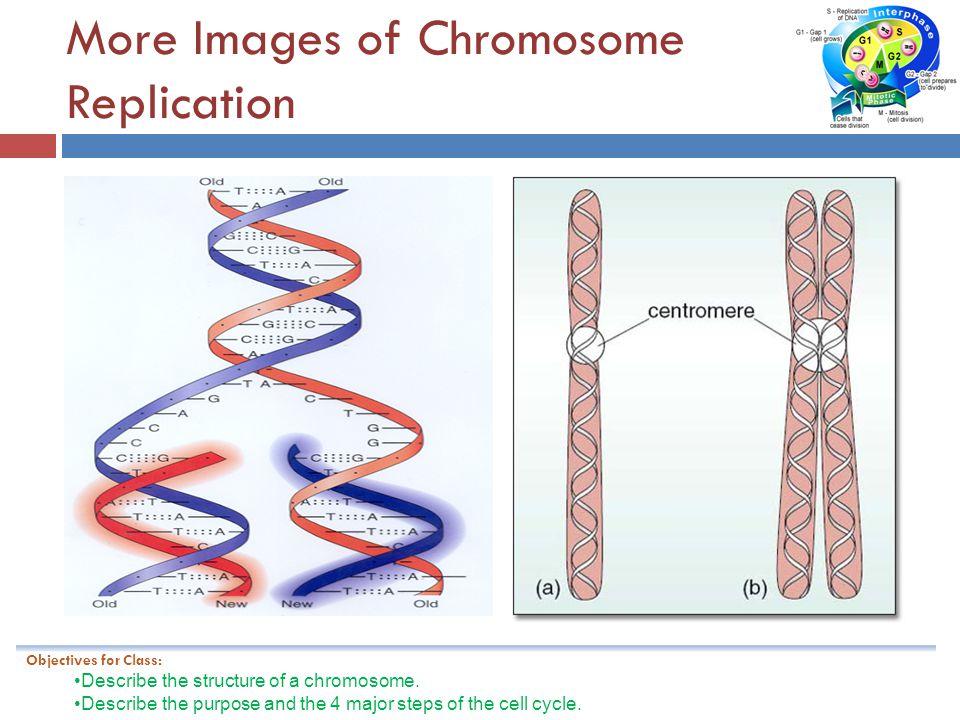 More Images of Chromosome Replication