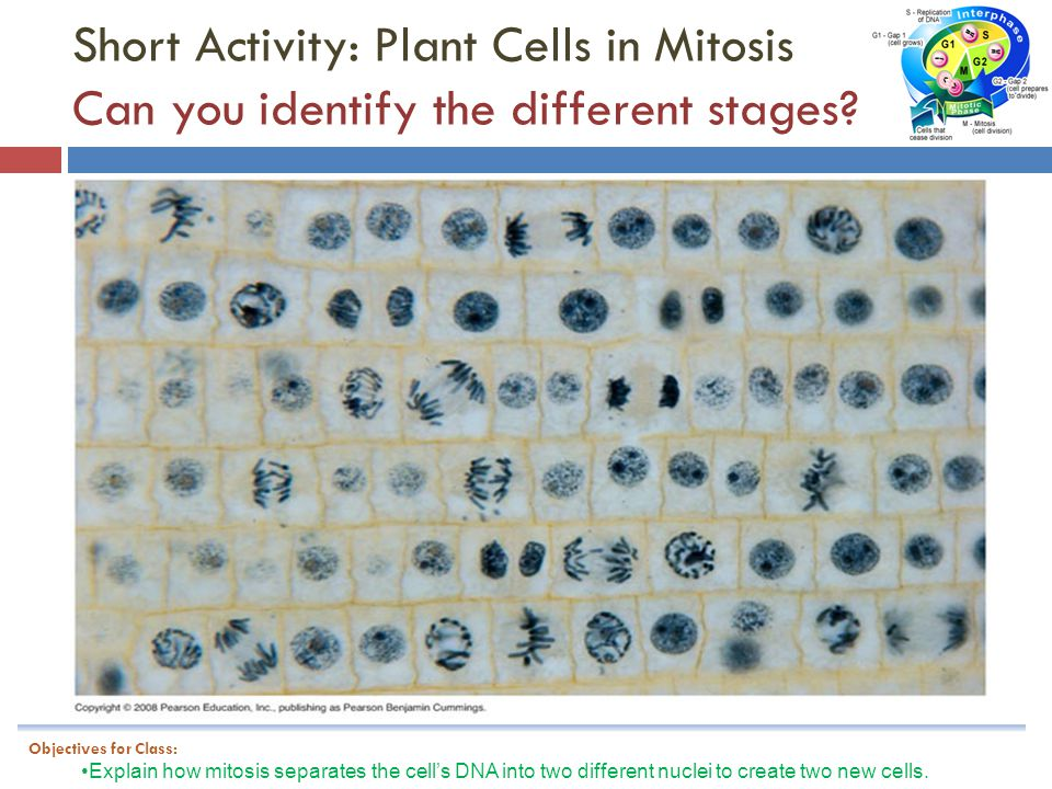Short Activity: Plant Cells in Mitosis Can you identify the different stages