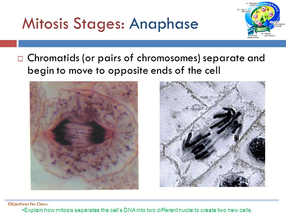 Mitosis Stages: Anaphase
