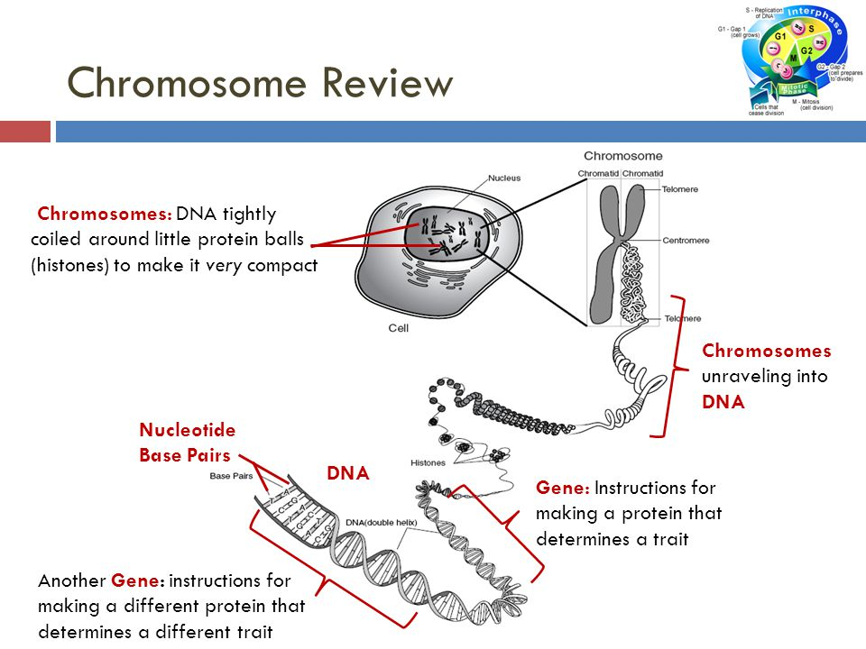 Chromosome Review Chromosomes: DNA tightly coiled around little protein balls (histones) to make it very compact.