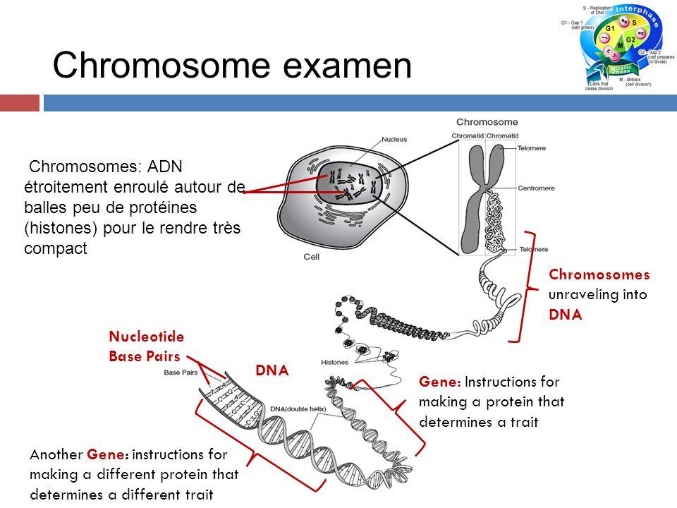 Chromosome examen Chromosomes: ADN étroitement enroulé autour de balles peu de protéines (histones) pour le rendre très compact.