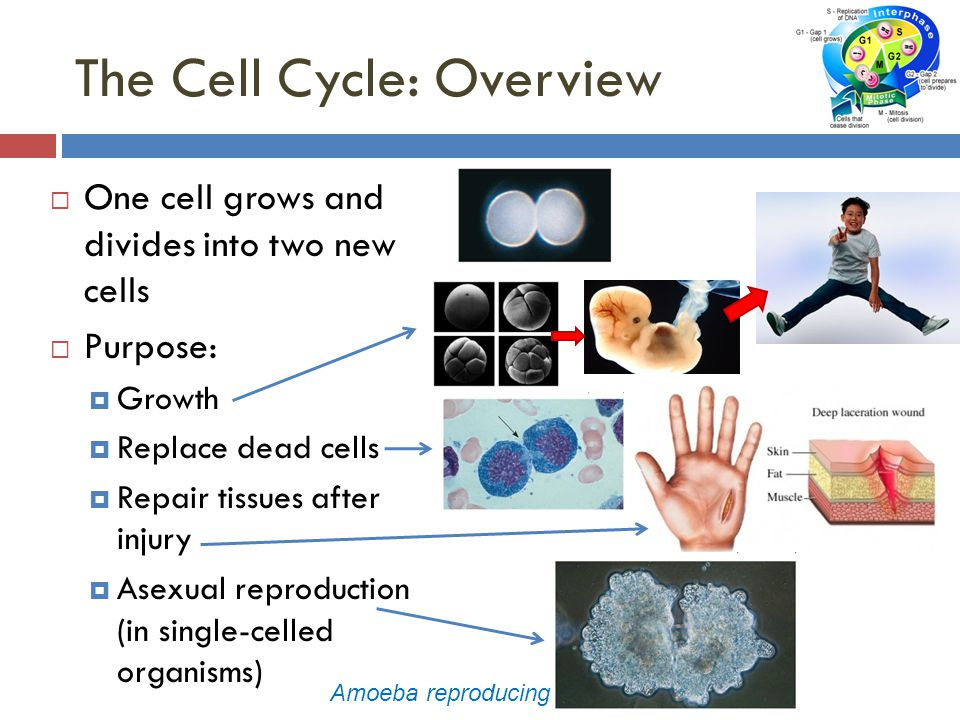 The Cell Cycle: Overview