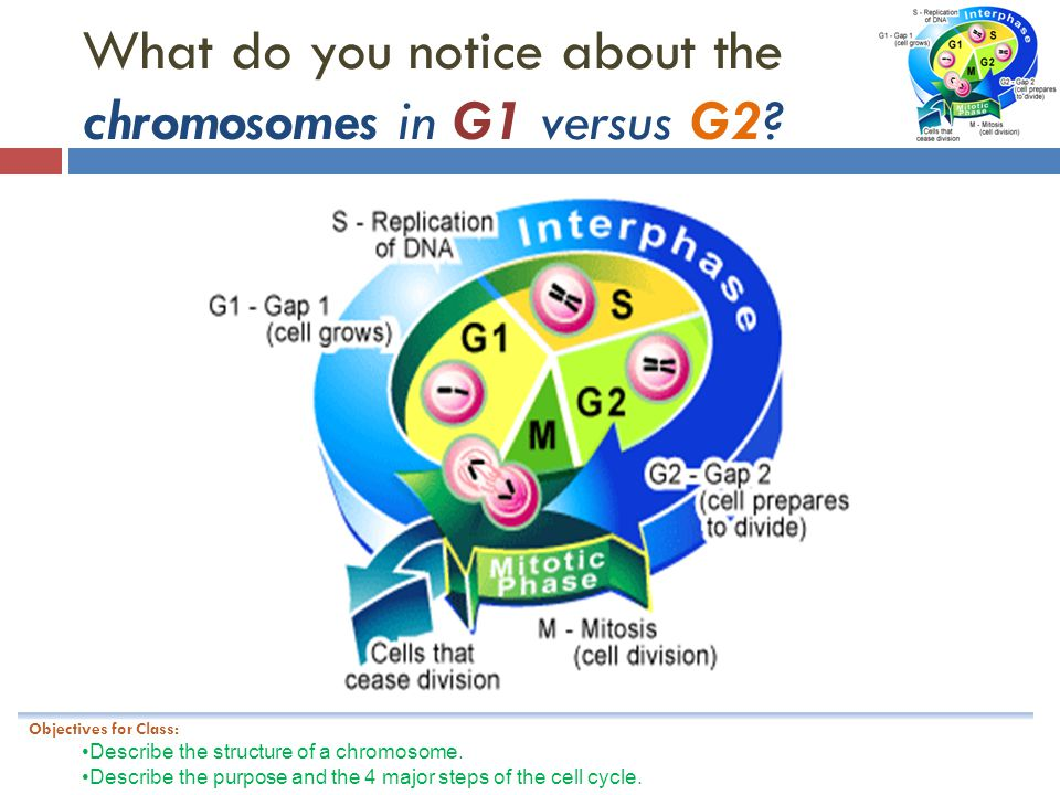 What do you notice about the chromosomes in G1 versus G2