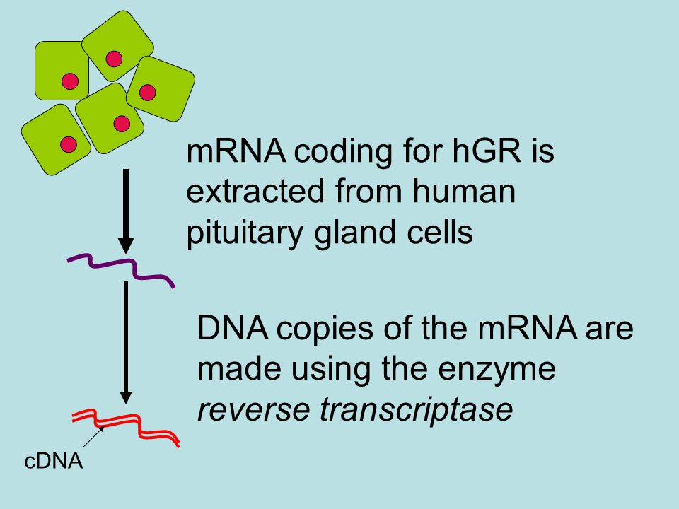 mRNA coding for hGR is extracted from human pituitary gland cells
