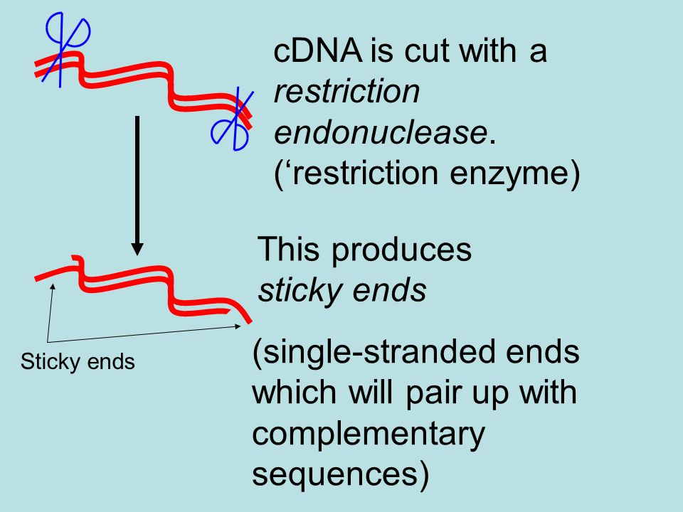 cDNA is cut with a restriction endonuclease.