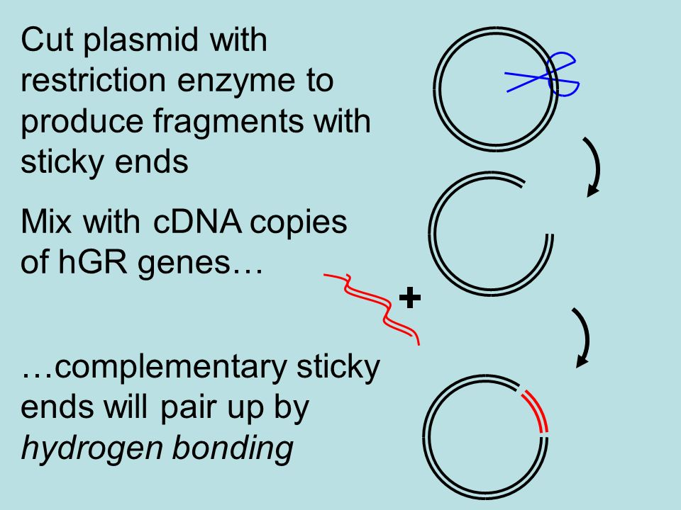 Cut plasmid with restriction enzyme to produce fragments with sticky ends