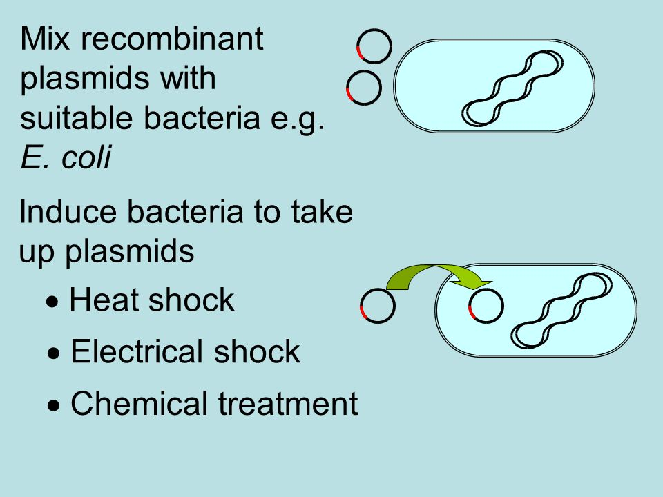 Mix recombinant plasmids with suitable bacteria e.g. E. coli