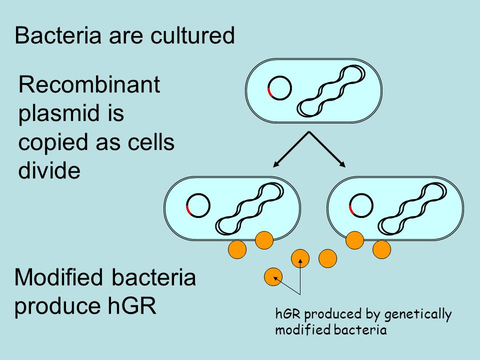 Recombinant plasmid is copied as cells divide