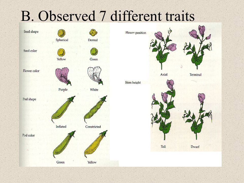 B. Observed 7 different traits
