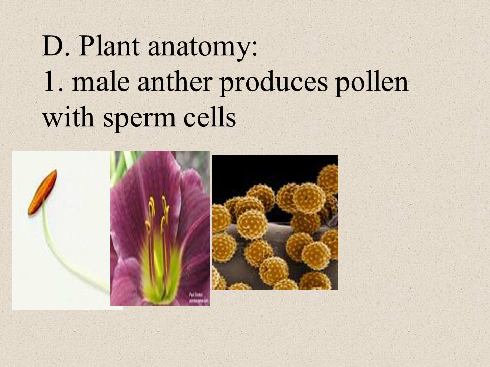 D. Plant anatomy: 1. male anther produces pollen with sperm cells
