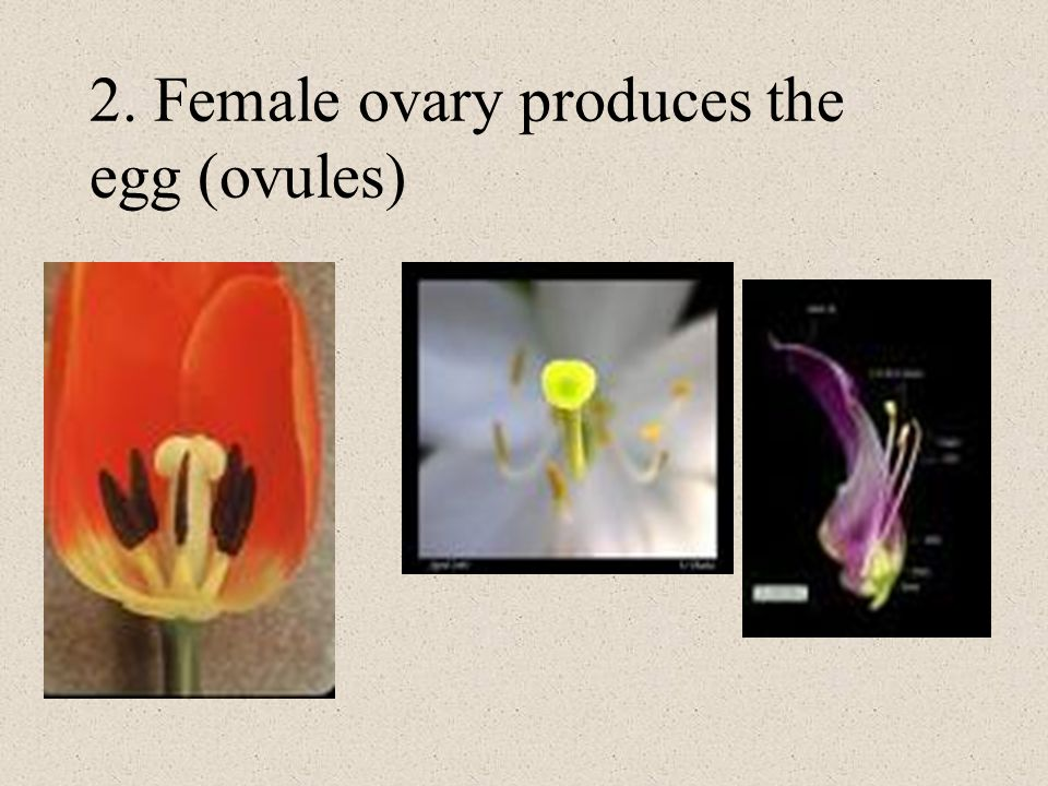 2. Female ovary produces the egg (ovules)