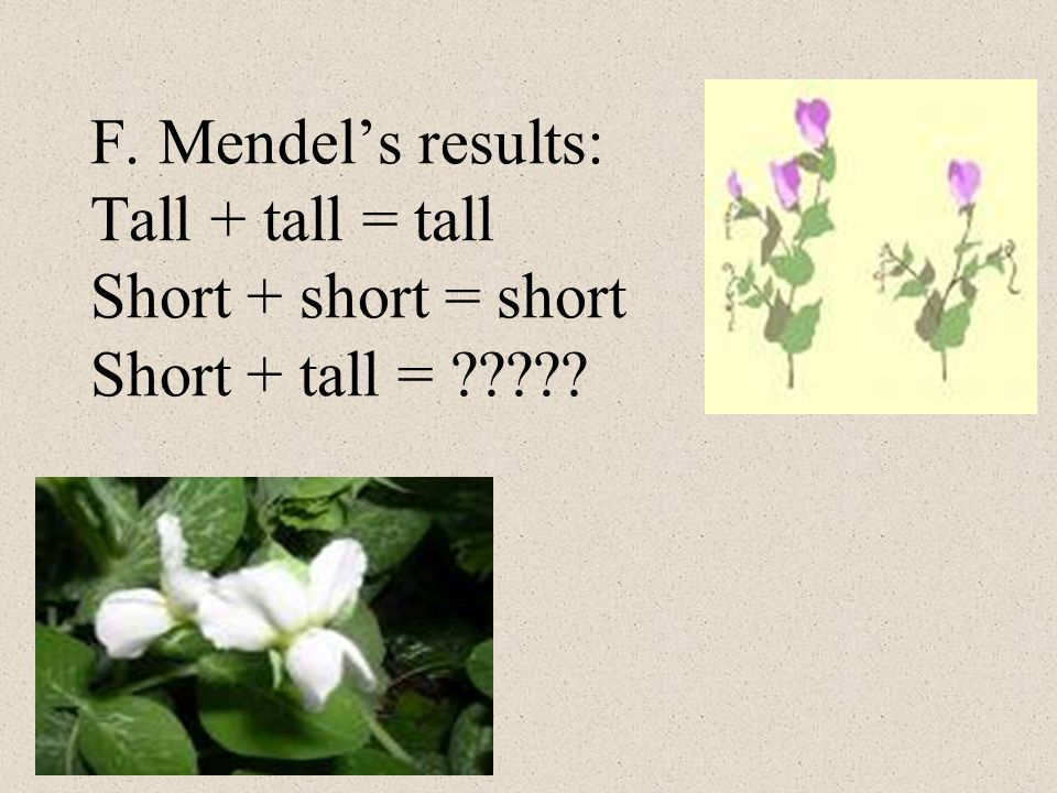 F. Mendel's results: Tall + tall = tall Short + short = short Short + tall =