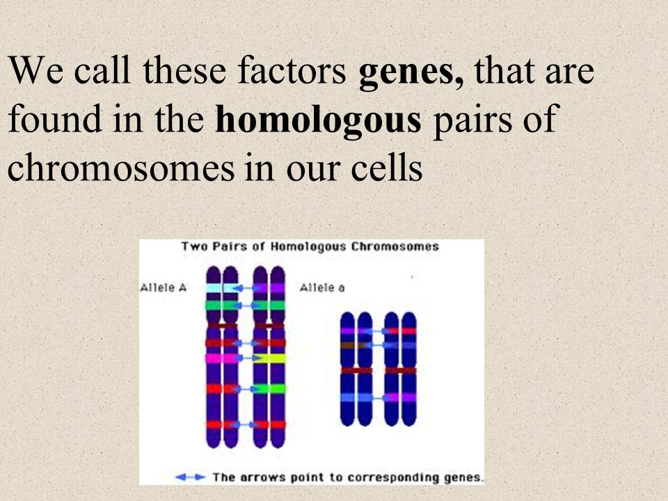 We call these factors genes, that are found in the homologous pairs of chromosomes in our cells