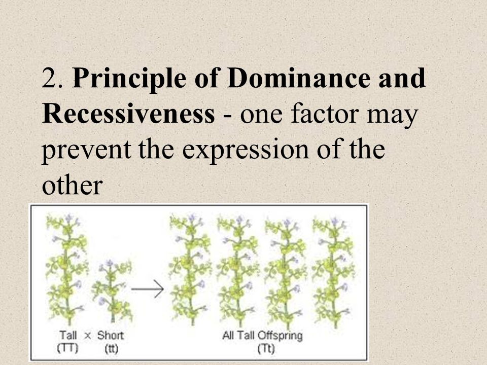 2. Principle of Dominance and Recessiveness - one factor may prevent the expression of the other