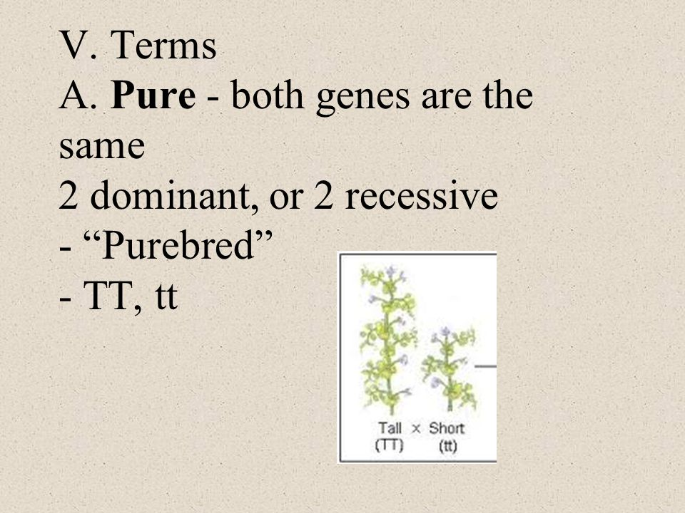 V. Terms A. Pure - both genes are the same 2 dominant, or 2 recessive - Purebred - TT, tt
