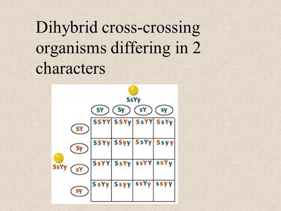 Dihybrid cross-crossing organisms differing in 2 characters