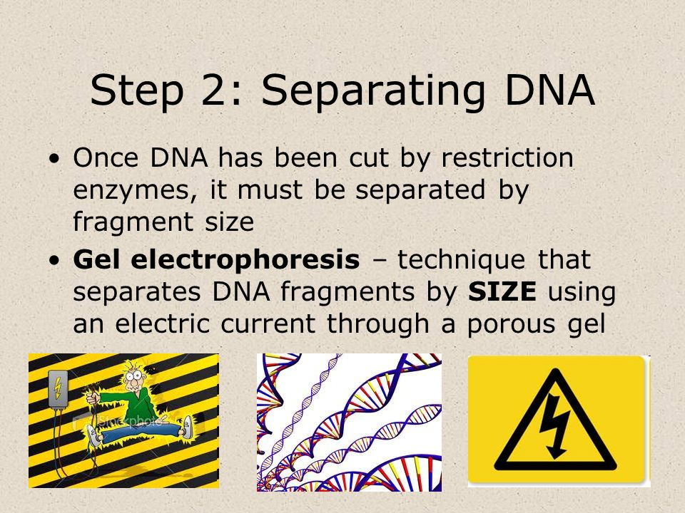Step 2: Separating DNA Once DNA has been cut by restriction enzymes, it must be separated by fragment size.