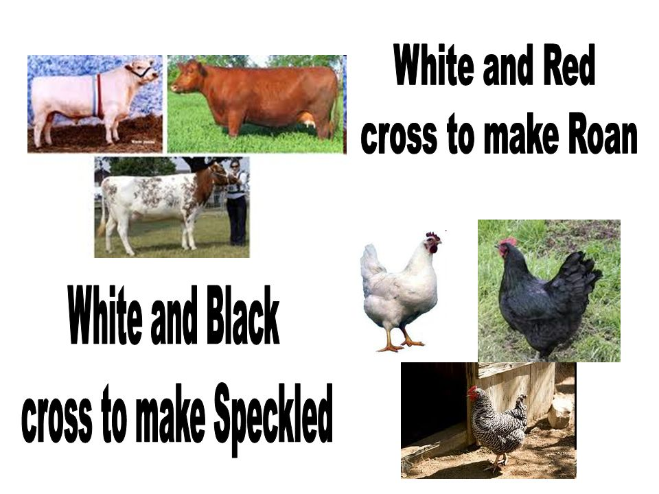 White and Red cross to make Roan White and Black cross to make Speckled